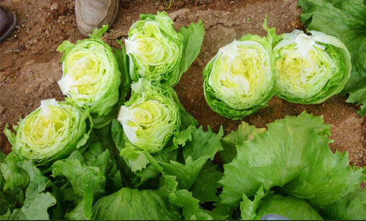Salatversuch Primaflor